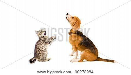Curious Beagle dog and playful kitten Scottish Straight together