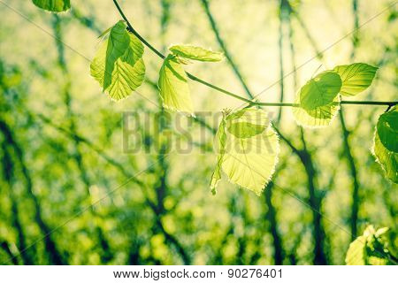 Springtime Nature With Beech Leaves