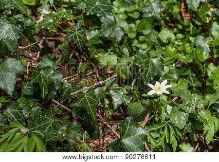 Anemone Flower With Ivy