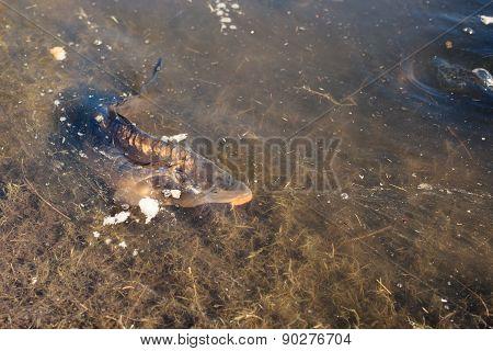 Carp Fish In A Lake