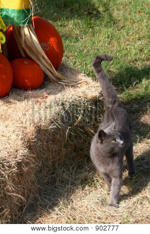 Cat In The Pumpkin Patch