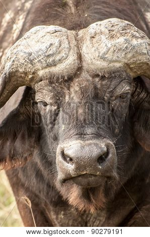 Up Close Portrait Of A Buffalo