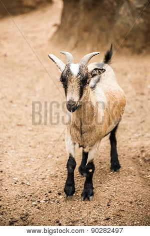 Pygmy Goat On Farm