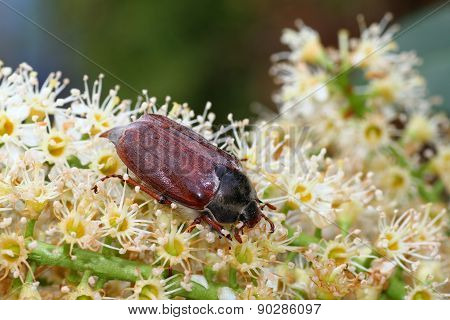 May-bug, Cockchafer