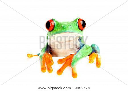 Frog Isolated On White For Banner Etc