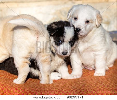 Beautiful Adorable Group Of Shepherd Dog Puppies In An Outside Shelter