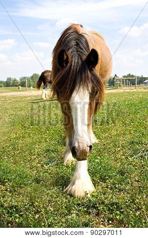 Young Gypsy Vanner horse