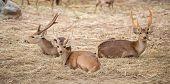 stock photo of wild hog  - this is hog deer or Hyelaphus porcinus - JPG