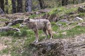 stock photo of coy  - A lone coyote in a summer scene  - JPG