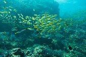 picture of shoal fish  - Underwater photography of a shoal of fish - JPG