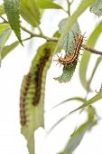 picture of green caterpillar  - Group Of Orange-Black-and-White Hairy Caterpillar On Green Leaves