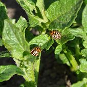 picture of potato bug  - Two Colorado beetles on the leaf of potato bush - JPG