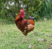 foto of roosters  - The red rooster stands on one leg - JPG
