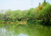 picture of weeping willow tree  - Trees surrounding a small pond at Xixi wetland park in Hangzhou China on a sunny day - JPG