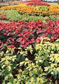 picture of poinsettia  - poinsettia flowers in garden - JPG
