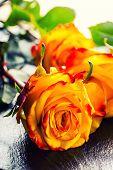 foto of yellow rose  - Rose - JPG