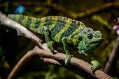 pic of chameleon  - Meller - JPG