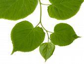 picture of linden-tree  - Green linden - JPG
