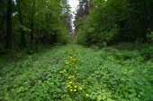 pic of backwoods  - Yellow dandelions are growing in the forest - JPG
