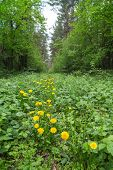 image of backwoods  - Yellow dandelions are growing in the forest - JPG