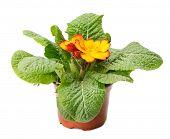 foto of primrose  - yellow primrose isolated on white - JPG