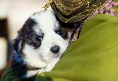 stock photo of little puppy  - Little beautiful black and white shepherd puppy held on human shoulders  - JPG
