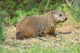 foto of groundhog  - Groundhog  - JPG