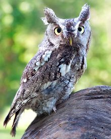 picture of screech-owl  - A Eastern Screech Owl perched on a tree stump - JPG