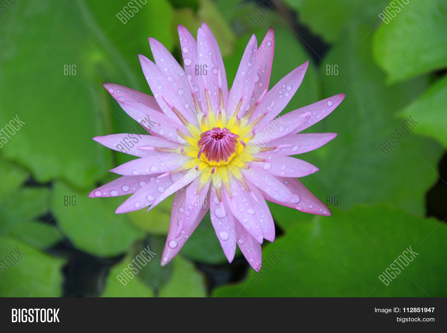 Purple lotus flower top view pool image photo bigstock purple lotus flower top view in the pool has some drop water on the petal mightylinksfo