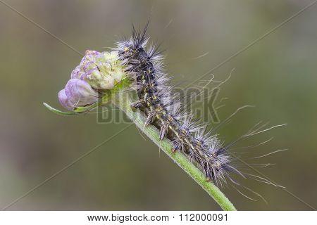 Hyphantria Cunea