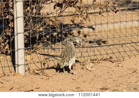 Roadrunner With Prey in Beak