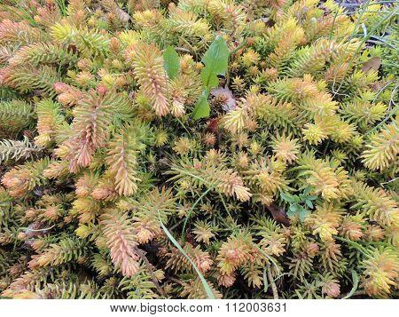 Sedum urvillei, family Crassulaceae