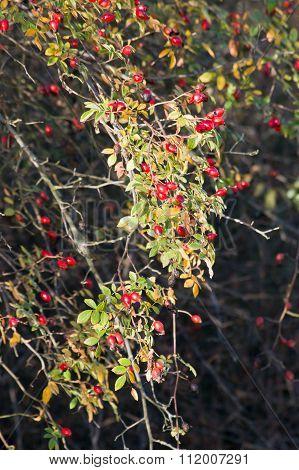 wild rose (Rosa Canina) berry