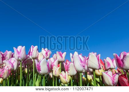 Tulip Wall