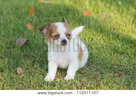 Adorable Chihuahua Puppy In The Garden