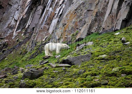 Polar bear in summer Arctic - Franz Josef Land