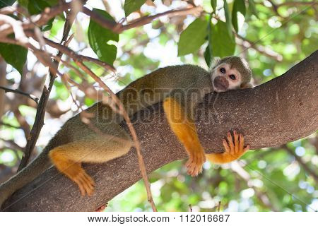 Cute Squirrel Monkey Hugging A Tree Branch