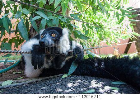 Black And White Ruffed Lemur Closeup