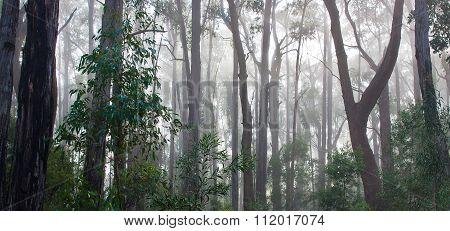 Australian Eucalyptus Rainforest In The Morning Mist