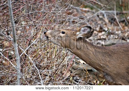 female whitetail deer doe eating berries during autumn