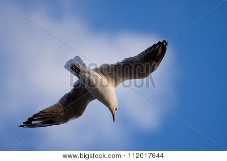 Closeup Of Seagull Flying With Spreaded Wings