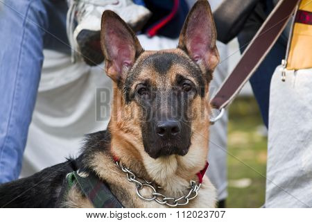 Protrait Of German Shephard Dog