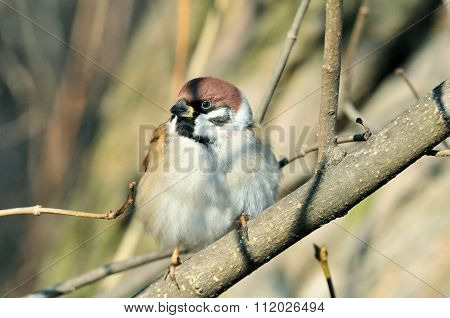 The Eurasian tree sparrow