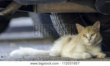 wild honey cat laying under a car