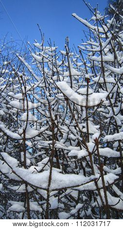 Spindle Tree Branches