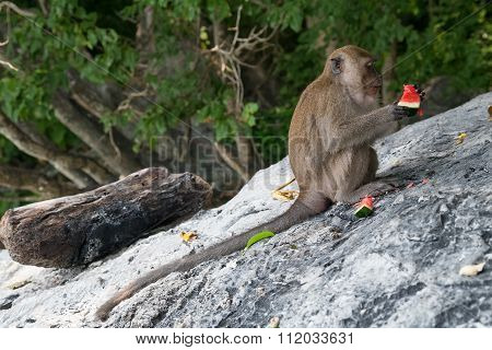 Monkeys Eating Fruits On Monkey Beach, Phi Phi Don  Island