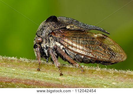 Tree hopper (Centrotus cornutus)