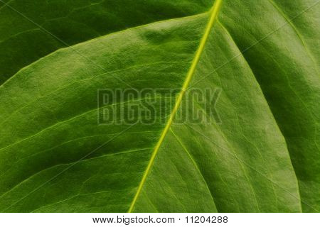 Leaf of Anthurium