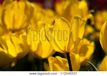 Closup Of Yellow Tulip In The Field
