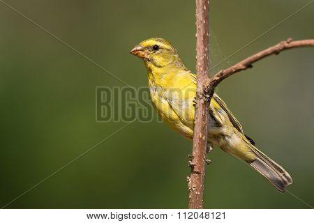 Brimstone Canary (crithagra Sulphuratus) Perched On A Branch